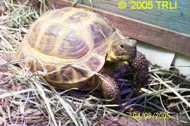 russian tortoise basic care and