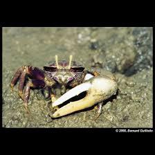 Pleins De Crabe Violonistes Très 09b18 Jpg