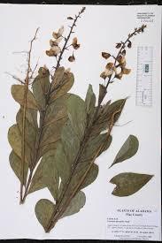 native plants of alabama crotalaria spectabilis species page isb atlas of florida plants