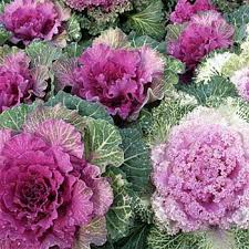 ornamental kale seeds brassica kale flower seed