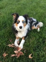 5 month old mini australian shepherd beautiful mini aussie parsonsplacestable com parsons place