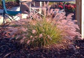 ornamental grass care cutting dividing and planting owg