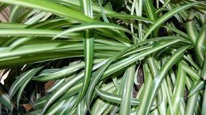 plante verte dans une chambre plantes de bureau sans soleil plante verte meuble chambre south