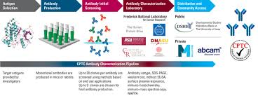Characterization Antibody Characterization Process Office Of Cancer Clinical