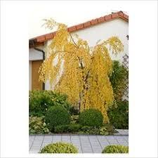 ornamental trees weeping nootka false cyprus chamaecyparis