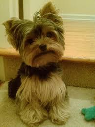 yorkie haircuts for a silky coat raza perros yorkshire terrier fur babies pinterest yorkies