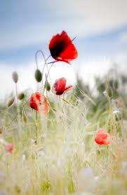 wild flowers in wild meadows 57 best red poppies images on pinterest red poppies nature and
