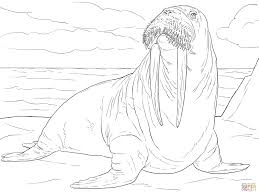 coloring page for walrus arctic animal coloring pages picture free printable walrus inside