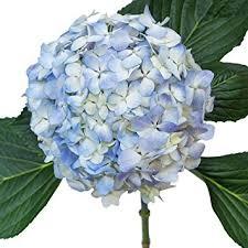 hydrangea flowers blue hydrangea flower hydrangea blue 10 flowers