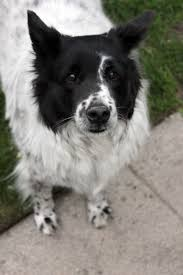 american eskimo dog rescue michigan bob u003c3 border collie u0026 american eskimo mix my favorite things