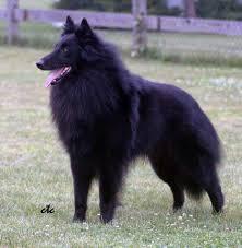 belgian shepherd standard coat belgian sheepdog club of america