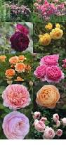 Very Fragrant Plants - how and when to prune knock out roses gardens plants and