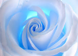 white and blue roses blue and white wall mural wallpapers by allwallpapers