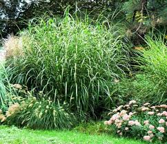 popular and impressive zebra ornamental grass wearefound home design