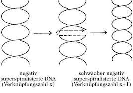 entspannungsspr che topoisomerasen lexikon der biochemie