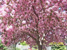 blossom trees cherry blossom tree by maryzhang67 on deviantart