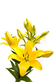 yellow lilies yellow on a white background stock photo colourbox