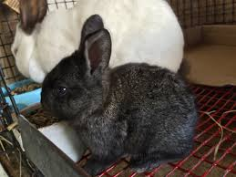 106 best rabbit barn meat rabbits images on pinterest meat