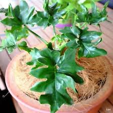Indoor Plant For Office Desk Rare Mini Philodendron Atom Tropical Indoor Pots Office Desk