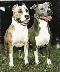american pitbull terrier kennels in michigan american pit bull terrier puppies and dogs for sale in usa