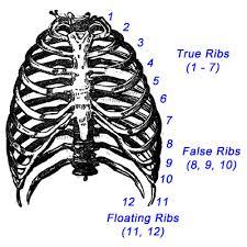 ribs or rib cage