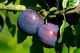 how to grow plums rhs gardening