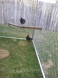 dog kennel or hardware cloth run backyard chickens