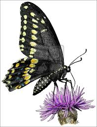 black swallowtail butterfly papilio polyxenes line art and full