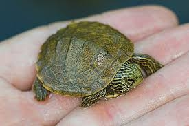 map turtle herps of arkansas northern map turtle graptemys geographica