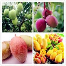 edible fruit 2pcs small mango bonsai seeds miracle fresh sweet delicious