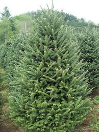 fraser fir christmas tree seven to eight foot premium fraser fir tree clements christmas trees