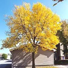 11 best trees fast growing images on fast growing
