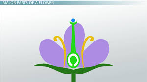 ovary of a flower function u0026 definition video u0026 lesson