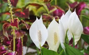 peace lilies as houseplants