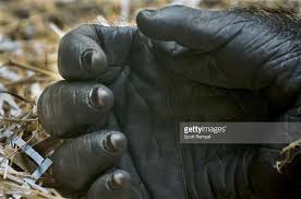 gorilla stock photos and pictures getty images