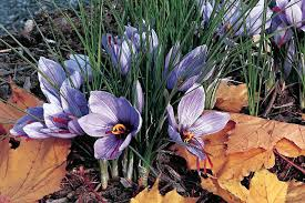 fall blooming flowers bulbs that bloom in the fall wsj