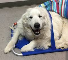 great pyrenees rescue provides wonderful dogs to good homes neediest cases 2017 national pyr rescue