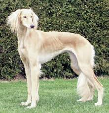 afghan hound poodle cross breed rescue