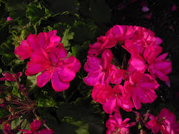 Heat Tolerant Plants The First Truly Heat Tolerant Geraniums In The World Urban