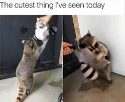Raccoon Meme - a raccoon hugging a raccoon plush toy the cutest thing today