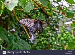 butterfly koi stock photos u0026 butterfly koi stock images alamy