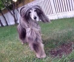 weimaraner vs afghan hound beck10yearsold2 jpg