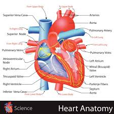 Heart Anatomy Arteries Learn About The Heart Simple Anatomy Craft