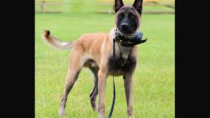 belgian sheepdog crossword suspect at large following monday armed robbery brainerd dispatch