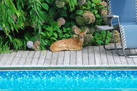 just a baby deer relaxing by the pool pics