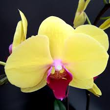 yellow orchids yellow with tip most beautiful in town live orchids