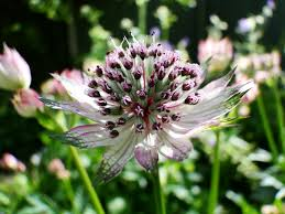 plants native to uk plant of the moment u2013 astrantia wellywoman