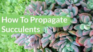 succelents succulents are so easy to propagate youtube