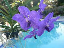 vanda orchids vanda orchids ebay