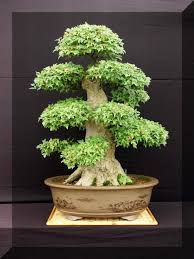 fancy old bonsai tree for sale 98 about remodel with old bonsai